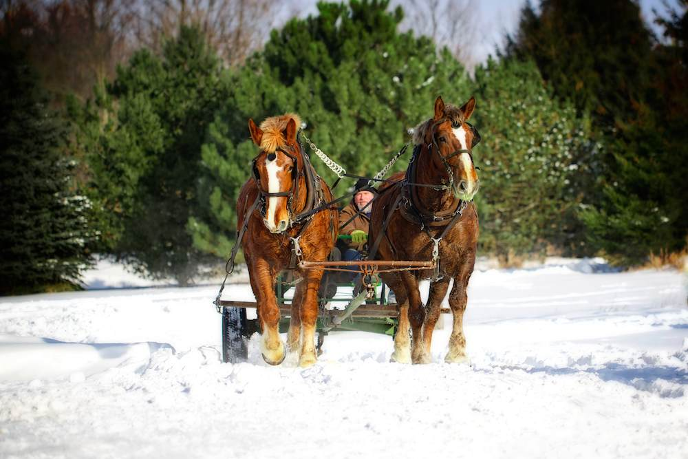 A horse logging team at work in Wisconsin