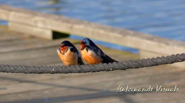 • Barn Swallows